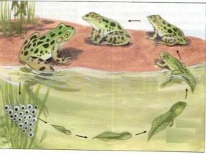 kurbagalar yasam dongusu (1)
