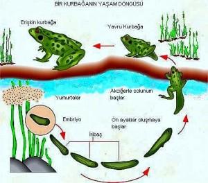 kurbagalar yasam dongusu (2)